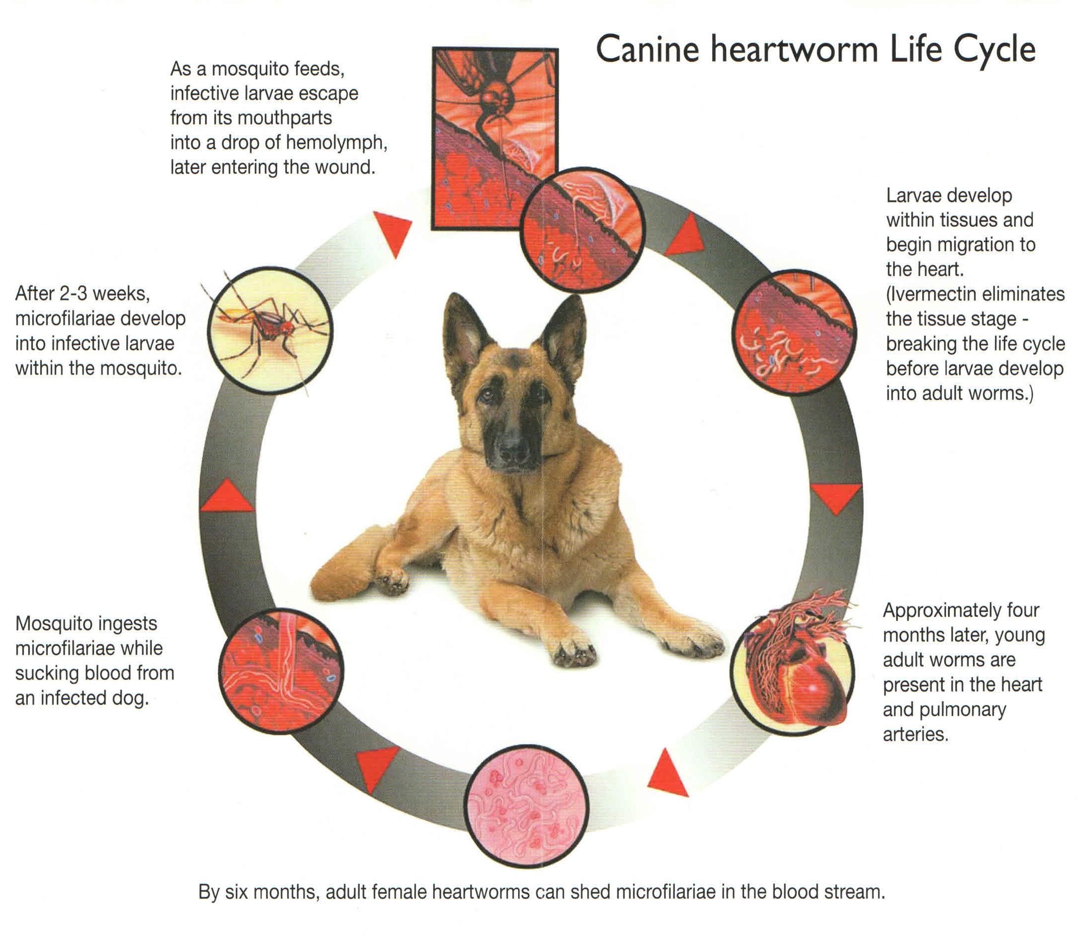 sterile canine serum positive heartworm